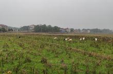 边牧在放羊