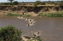 坦桑尼亚角马过河,勇者。