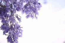 昆明最美的蓝花楹都在这里了 去年昆明因为蓝花楹火了一把现在终于来到了蓝花楹拍了个航拍请你们欣赏  今