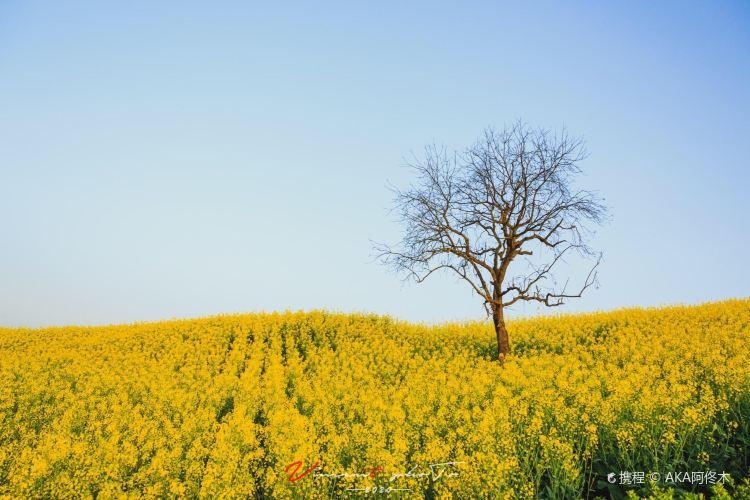 Hanzhong Canola Fields3