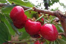 鲜红的果儿满枝头