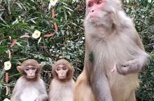 猕猴下山 春到张家界——金鞭溪,一路被猕猴尾随围观了。景点工作人员介绍,由于疫情期间封园没有游客,山