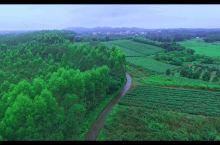 忽如一夜春风来,又到茶园飘香时,廉江崛起新茶乡。昔日的乡村农田,已是满目苍翠,茶香弥漫。