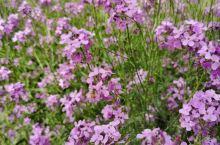 紫色油菜花,难得一见