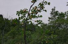 初夏山林中碰到果树。
