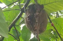 继续邦劳第二天的旅游行程,在当地热情、奔放的原住民导游带队下,看世界最小的超可爱的眼镜猴,小的有造型