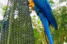 伊瓜苏鸟园内的鹦鹉园。很多鹦鹉自由地飞翔。展翅翱翔的美态,刹是好看!另外有猫头鹰和蝴蝶园。