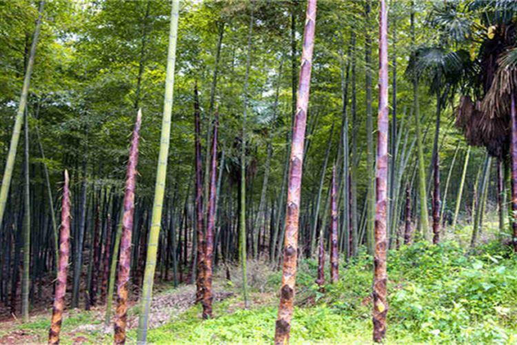 Cailun Bamboo Ocean4