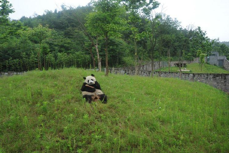 중국 자이언트판다 보호연구센터, 두장옌기지4