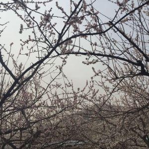 樱花广场旅游景点攻略图