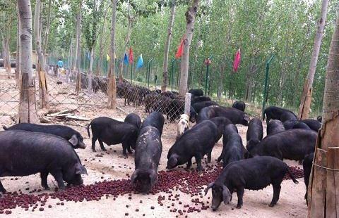鄉村全豬館
