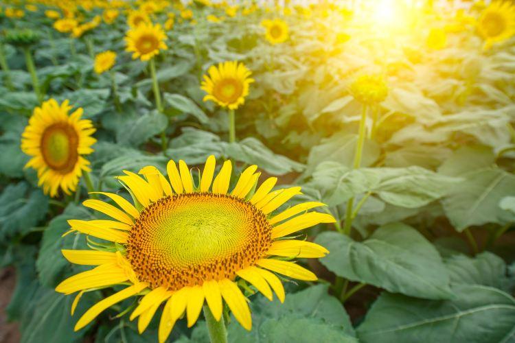 Million Sunflower Garden1