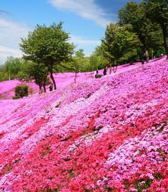 [北海道游记图片] 春游北海道,泡温泉赏芝樱,看函馆百万夜景