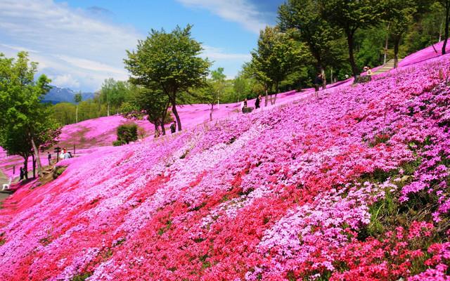 春游北海道,泡温泉赏芝樱,看函馆百万夜景