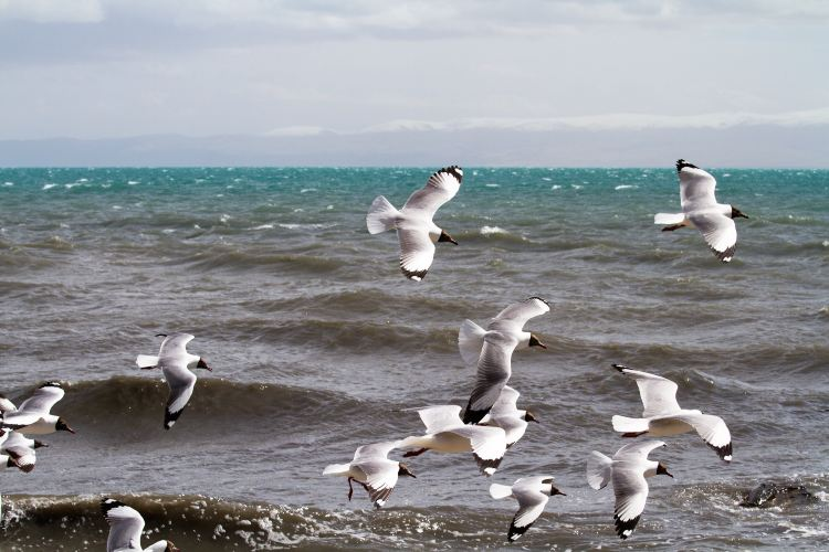 青海湖鳥島2