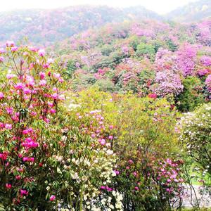 宾川游记图文-自助独行走云贵(6):宾川(鸡足山)、黔西(百里杜鹃)
