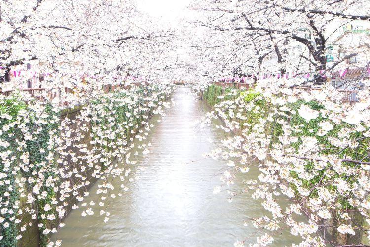 메구로가와 강1