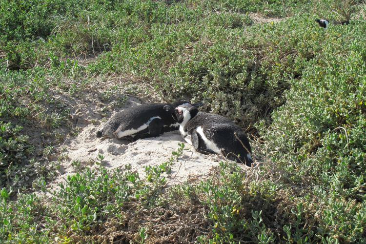 南非企鵝生態保護區4