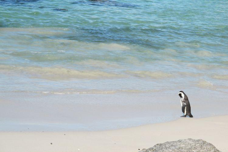 南非企鵝生態保護區2