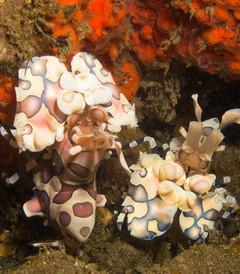 [印度尼西亚游记图片] 蓝碧潜水海图,海峡里各种奇妙的小生物