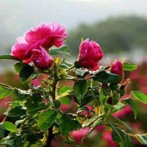 伊甸园玫瑰观光景区旅游景点攻略图