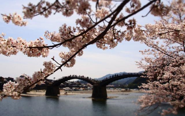 松山,広島:櫻花開了