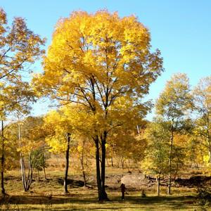 饶河游记图文-金色的北大荒——859农场的秋天真的是金色的。朋友,你见过吗