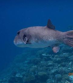 [蓝色美人蕉岛游记图片] 马尔代夫蓝色美人蕉岛之深潜