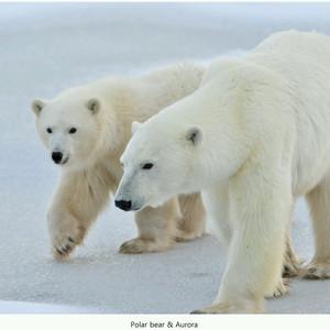 温尼伯游记图文-北极·熊