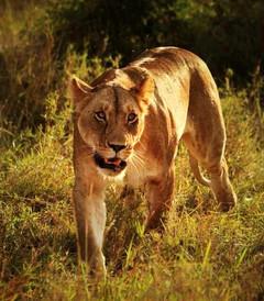 [肯尼亚游记图片] 经典非洲 狂野肯尼亚