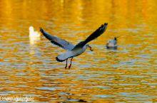 昆明观鸟去 | 飞越上千公里的红嘴鸥,只为在昆明赴一场冬天的约会