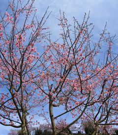 [龙岩游记图片] 永福樱花茶园,这才是迎接明媚春光的正确方式!