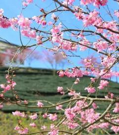 [龙岩游记图片] 永福樱花烂漫时,她们在丛中笑