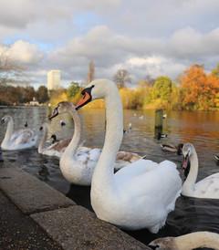 [伦敦游记图片] 我是来英国喂鹅的吗?