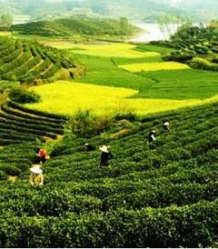 [西乡游记图片] 春日采茶游