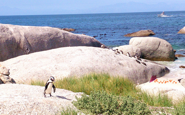 [非洲:南非篇] Penguin Beach萌萌的企鹅群