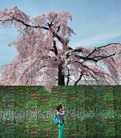 [日本游记图片] 缪出品 - || 東洋·樱の季節 ||