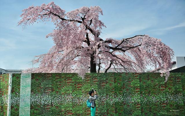 缪出品 - || 東洋·樱の季節 ||