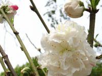 期待桃花朵朵開