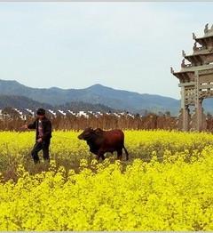 [富阳区游记图片] 中国十大古镇油菜花及拍摄技巧