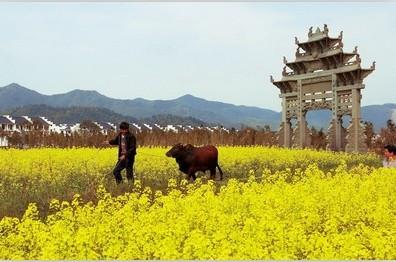 中国十大古镇油菜花及拍摄技巧