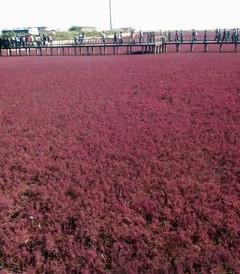 [中国游记图片] 湿地奇观红海滩