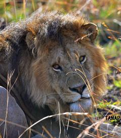 [坦桑尼亚游记图片] 塞伦盖蒂百万动物大迁徙