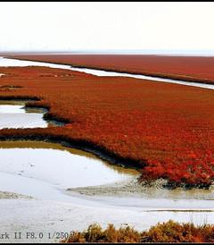 [盘锦游记图片] 辽东秋色:探红觅金枫