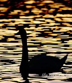 [湖区游记图片] 【寻月季】【英国】温德米尔湖畔的鹅啼