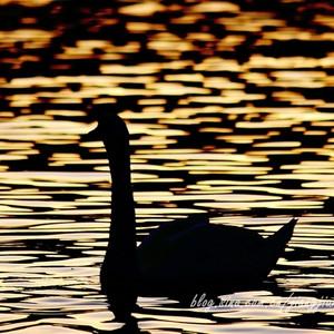 英格兰游记图文-【寻月季】【英国】温德米尔湖畔的鹅啼