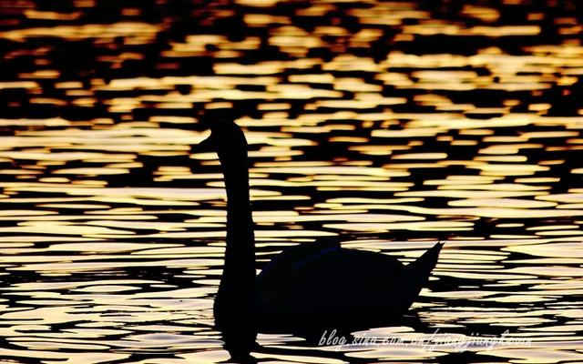 【寻月季】【英国】温德米尔湖畔的鹅啼