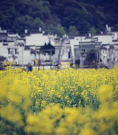 [婺源游记图片] 春天盛开的村庄——徒步穿越油菜花里的婺源(北京出发,全程花费900元穷游)
