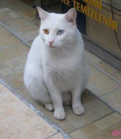 [番红花城游记图片] 在土耳其遇见凡猫