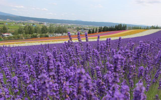 2014北海道夏季看花最新攻略--紫色之约